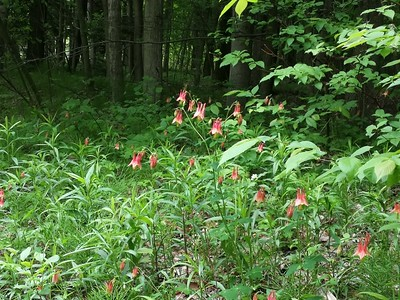 Red Columbine (Aquilegia canadensis) in Area 6 - Photo by Simone Merey