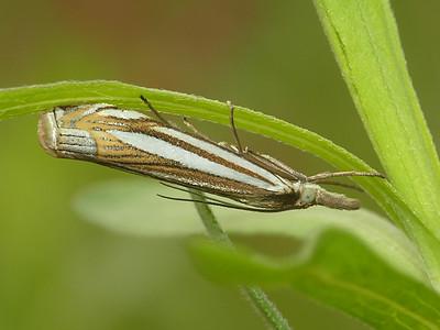 Eastern Grass-Veneer (Crambus laqueatellus) in Area 5 - Photo by David Geale