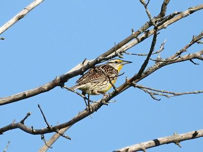 Eastern Meadowlark (Photo by Don McLeod)