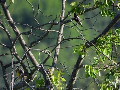 Eastern Meadowlark (bottom, left) & Bobolink (upper,right) (Photo by Don McLeod)
