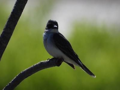 Eastern Kingbird (Photo by Don McLeod)