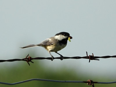 Black-capped Chickadee - carrying food CF  (Photo by Don McLeod)