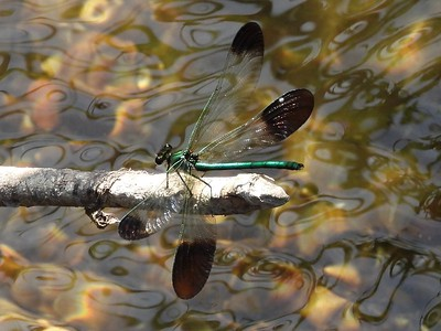 River Jewelwing (Calopteryx aequabilis)  (Photo by Don McLeod)