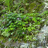 Stone crop and wild geranium
