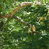 Brian spotted this Cooper's Hawk