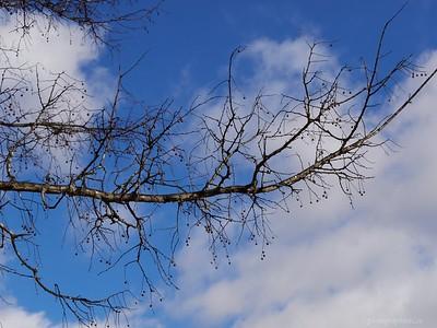Hackberry tree - a unique winter appearance
