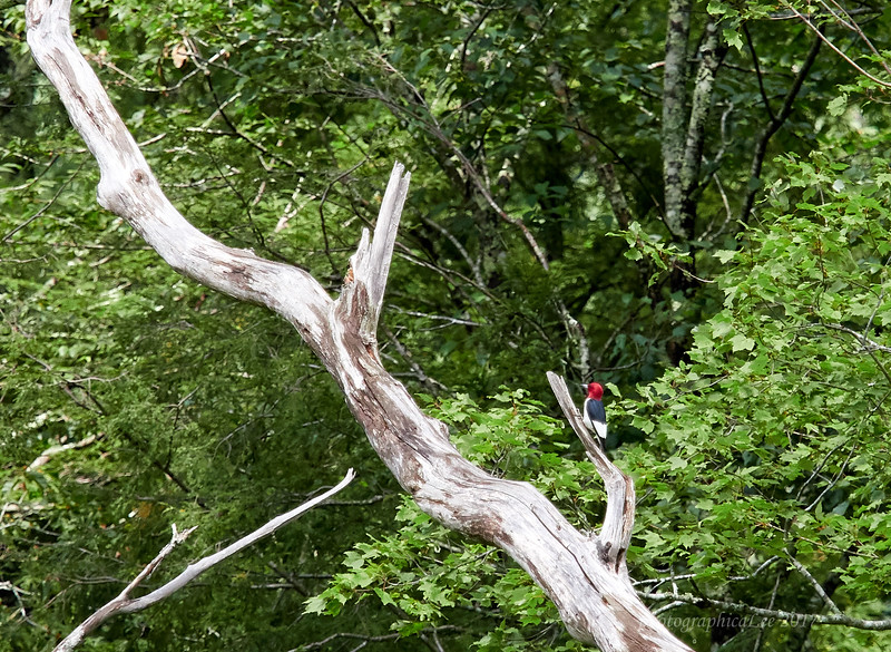 Red-headed Woodpecker seen by all on Rafter Road