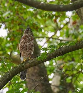 Cooper's Hawk (female Sharp-shinned perhaps) in Inn front yard