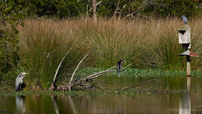 GBH, Anhinga, and LBH in one frame