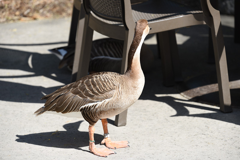 Out for an afternoon stroll. #Swan_Goose, #San_Diego_Zoo_Safari_Park, #CA, #Member's_Appreciation, #Nikon, #D810, #withmytamron, #SCPCphotos