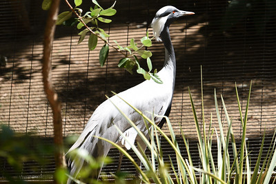 One of the first things to greet us was this #Demoiselle_Crane.  #San_Diego_Zoo_Safari_Park, #CA, #Member's_Appreciation, #Nikon, #D810, #withmytamron, #SCPCphotos
