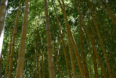 A peaceful stand of #Bamboo on the way to see the Tigers (they were all sleeping). #San_Diego_Zoo_Safari_Park, #CA, #Member's_Appreciation, #Nikon, #D810, #withmytamron, #SCPCphotos