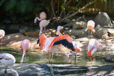 A #Greater_Flamingo shows off his plumage. #San_Diego_Zoo_Safari_Park, #CA, #Member's_Appreciation, #Nikon, #D810, #withmytamron, #SCPCphotos