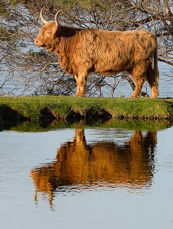 Jill Shaw-Cow 2