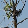 Nesting pair of Osprey