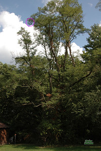 The Black Dart's final resting place, high in the canopy. Note the building at the lower left for scale. The club's retrieval stick didn't even reach half way up.  Photo by Alan M. Carroll