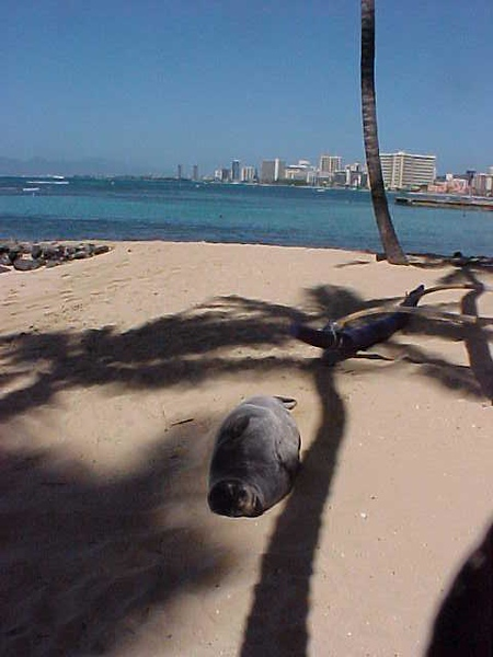 2005 Chester the Monk Seal
