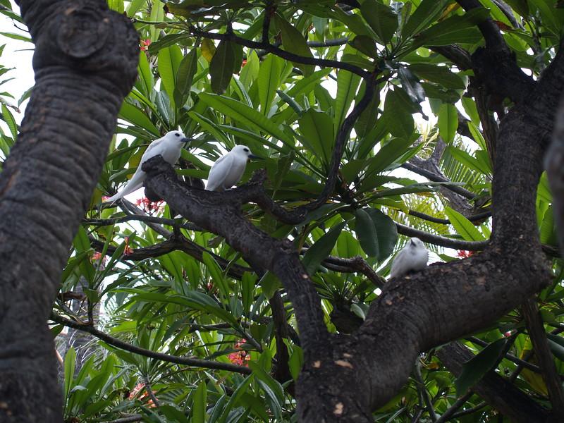 2007 Fairy Tern  5-28-2007