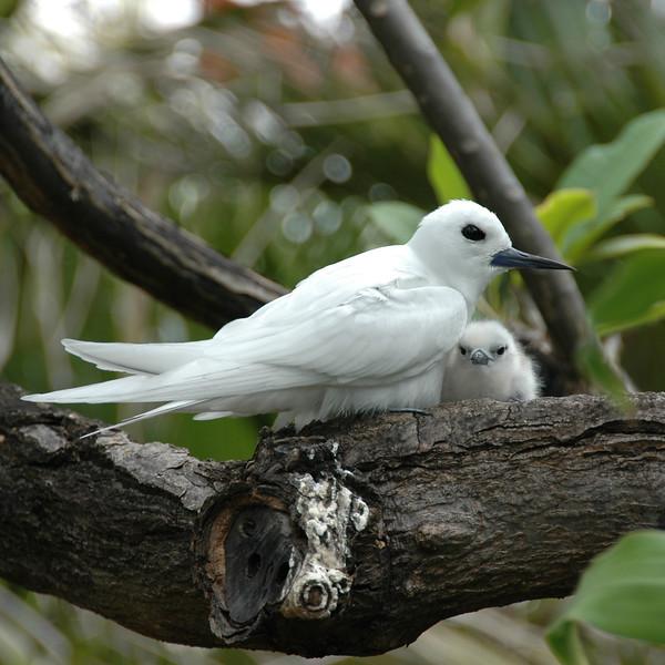 2007 Fairy Tern at OCC