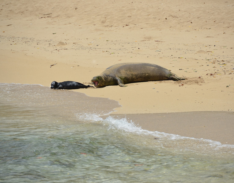 2017 Monk Seal Rocky and Baby Kaimana