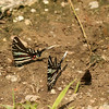 Zebras with wild indigo duskywing, also sipping on the mud/sand at Jericho Ditch parking spot.