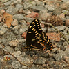 Palamedes Swallowtails were numerous (dozens) on Jericho Ditch in the Great Dismal Swamp on 6/11, only a handful elsewhere.