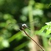 Male great blue skimmer, Libellula vibrans.  One of many seen in several areas we visited.