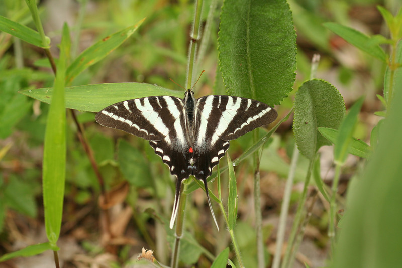 The elegant zebra swallowtail, numerous along Jericho Ditch and Interior Ditch in Great Dismal Swamp NWR.