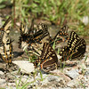 "Tigers ""puddling"" with Palamedes at the Jericho Ditch parking area (the best butterfly stop of our trip)."