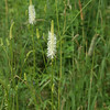 American burnet, aka Canada burnet, Sanguisorba canadensis, 7/22.