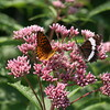 Atlantis fritillary with white admiral on Joe-pye weed.