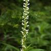 White bog orchid, Plantathera dilatata.