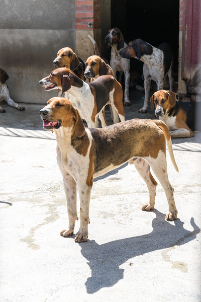 The hunting dogs of Cheverny.