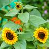 Papa, Mama and Daughter sunflowers.