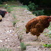 Three French hens/roosters....