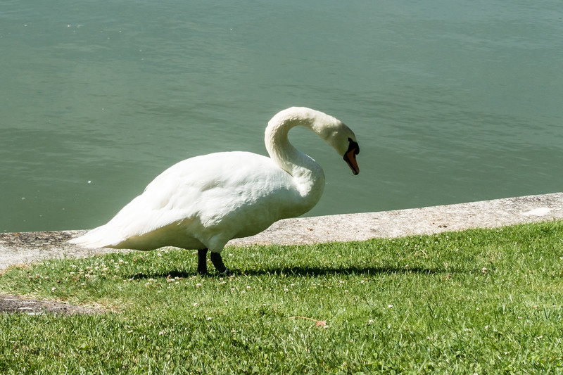 Naomi's picture of a swan.