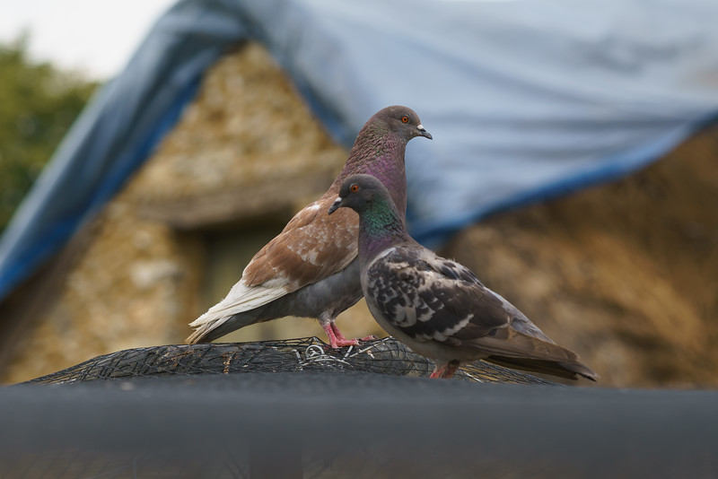 Not two turtle doves.