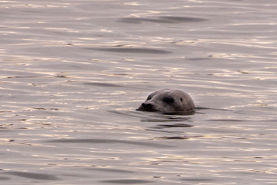 Harbor Seal in Bowman Bay