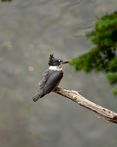 A King Fisher.