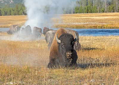 Bison at geothermal site