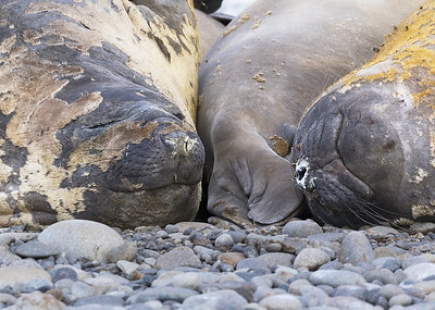 Elephant seal snooze