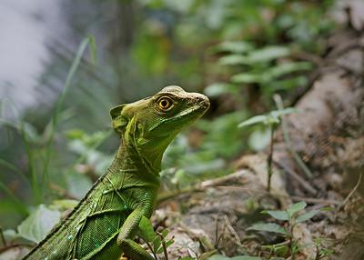 Jesus (basalisk) Lizard