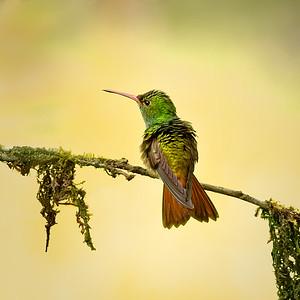 Rufus-tailed humming bird
