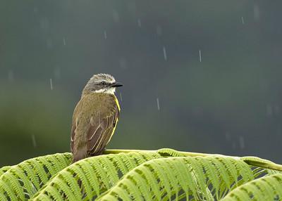 Tropical Kingbird in the rain