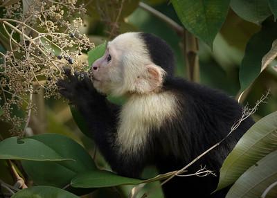 Capuchin monkey feeding
