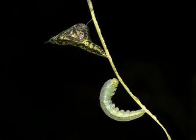 Caterpillar and pupa