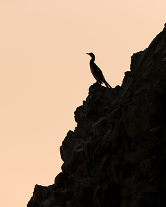 Cormorant on Basalt cliffs, Devon Island