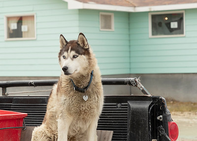 Sleddog, Cambridge bay