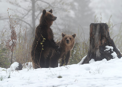 Young adult brown bears