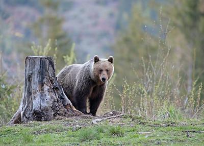 Feamle Brown bear